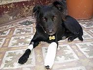 qmph-blog-pseudociencias-animales-perro-fractura
